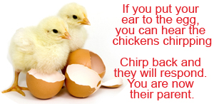 Chickens Chirping